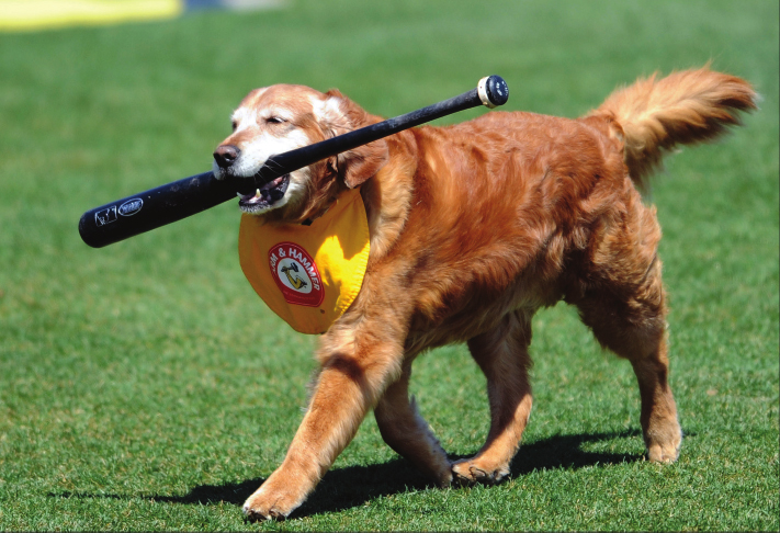 Chase the faithful bat dog, who served the Trenton Thunder baseball team for 11 years, retired in 2013. This year his son Derby will be taking his place, while other son, Ollie, heads off to work for the NH Fishercats. File photo.